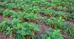 Клубнику лучше всего выращивать  на солнечной ровной поверхности, так как ягода не любит сильные склоны и места, где скапливается холодный воздух, присутствует тень. В таких местах такой плод начнет гнить и б