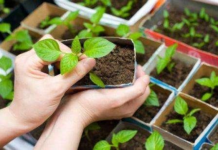 Выращивание астры из семян в домашних условиях – несложный процесс, если вы правильно подберете посадочный материал и пр