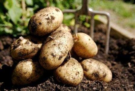 Венета – еще один ранний картофель, который был получен немецкими селекционерами и отличается по описанию длительным сроком хранения зимой. Клубни имеют почти круглую форму, сердцевина желтая, кож