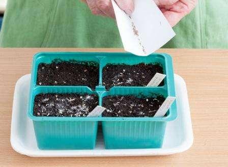 После того как рассада подрастет, нужно сделать пикировку, чтобы сеянцы не мешали друг другу. Для этого пересадите каждый росточек в индивидуальный горшок и не забудьте провести удобрение почвы. Важно чтобы в горш