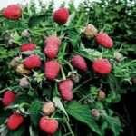 Малина Брянское Диво: описание сорта, урожайность с одного куста