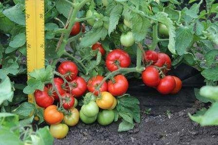 Томат Любаша отзывы огородников, фото и описание сорта