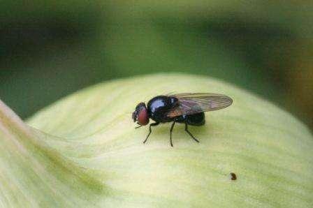При больших площадях посевов, некоторые из вышеперечисленных методов затруднительны. Также отдельной проблемой может стать борьба с луковой мухой у людей, которые занимаются разведением тюльпанов. В этих случаях можно применять химические препараты. Одним из эффективных препаратов считае