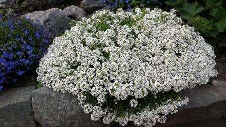 Сажать в парники семена алиссума можно в апреле месяце. Когда пройдет 1,5 месяца после первых всходов, уже начнется цветение этого растения, поэтому вы можете рассчитать этот период для создания клумбы, цветущей все лето.
