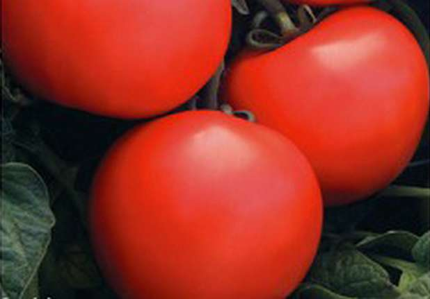 По отзывам огородников, томаты дебют f1 растут кустами, которые достигают в высоту до 70 см. Именно поэтому этот сорт подходит для выращивания на грядках в теплицах и открытом грунте. Плоды плотные, отлича