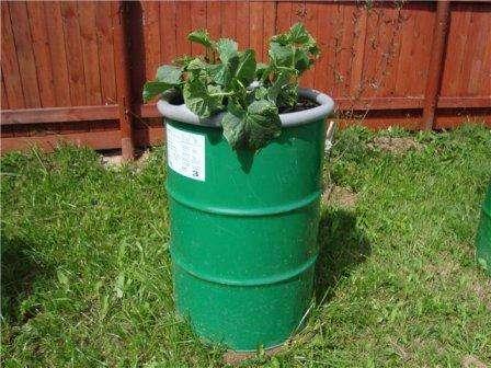 Огурцы в бочке выращивание пошагово по видео и фото