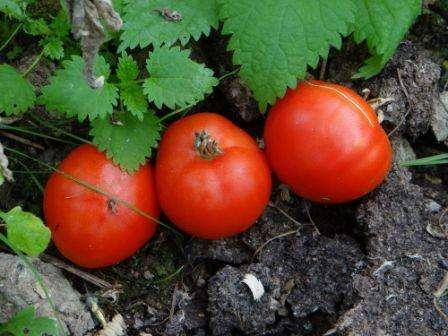 Опытные овощеводы рекомендуют высаживать в открытый грунт 60 дневную рассаду томата Грибовский 1180. Чтобы получить крепкую и здоровую рассаду, семена высеивают примерно 10-15 марта. Для выра
