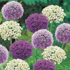 отличие от других растений лук декоративный легко выращивать семенами, которые прекрасно вызревают в нашем климате. Разумеется, на первый год цвести аллиум не будет, зато на второй – выпустит стрелки и пок