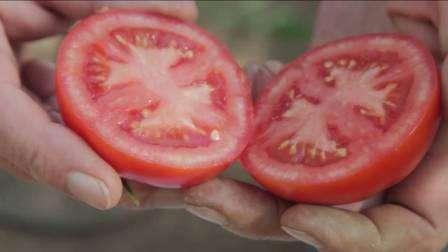 Купили в магазине семена гибрида Любаша, чтобы выращивать в теплицы. Остались очень довольны, так как рассада быстро окрепла и уже спустя 2 месяца появились первые спелые плоды. Высадили всего 2 ряда томатов Любаша