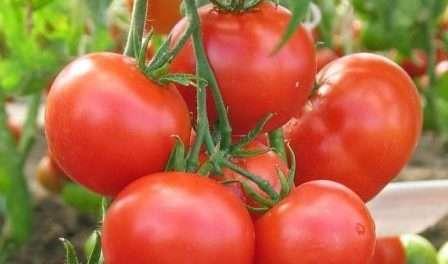 Томат Любаша по описанию и отзывам огородников относится к ранним сортам, так как от посева до созревания проходит около 65 дней. Этот гибридный сорт, поэтому он имеет неповторимые вкусовые характер
