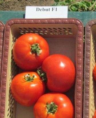Томат дебют f1 отзывы огородников, которые выращивали