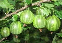 По отзывам огородников, выращивание сорта крыжовника Малахит не составляет особого труда. Важно правильно подобрать саженцы, вырыть яму глубиной около 40 см и высадить их на расстоянии 1 метра друг от др