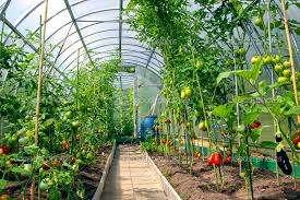 Выращивание томатов в теплице из поликарбоната. Фото и особенности