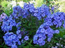 На сегодня ботаники и любители-цветоводы говорят о более, чем 300 разновидностях флоксов. Преимущественно флоксы многолетние растения. Однолетники представлены флоксом друммонда. Среди наиб