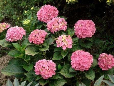 Это растение предпочитает среднекислую землю, поэтому вы можете смешать в равных соотношениях перегной, песок, торф, землю дерновую и листовую. В зависимости от кислотности почвы крупнолистная гор