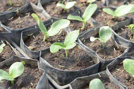 Семена перед посадкой необходимо простимулировать, т.е. замочить в растворе воды и золы в соотношении 1 литр на 1ч.ложку соответственно. Оставить их на пару дней, затем просушить и положить на влажную ткань и опять оставить на пару дней. По желанию, для обеззараживания, можно замочить семена в растворе марг