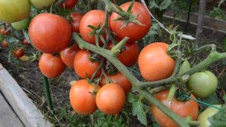 К преимуществам всех детерминантных сортов относят: высокую урожайность и раннеспелость. При этом завязи формируются практически одновременно, а значит, вы сразу получите большое количество плодов. У та