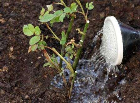 Чтобы сформировать куст розы и получить крупные цветы, обрезку лучше всего проводить весной. Обрезать нужно все погибшие части до первой неповрежденной почки, также вырезают слабые и растущие внутри куста
