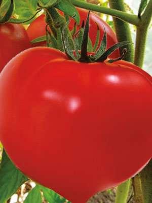 Высаживал томаты Большая мамочка в теплицу, поливал под корень теплой водой и проводил подкормки раз в десять дней. Этот сорт порадовал хорошей урожайностью, поэтому планирую его высаживать каждый год».