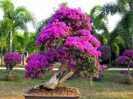 Чтобы увидеть, как красиво цветет бунгевиллия, важно вовремя проводить полив и опрыскивание. Когда цвет