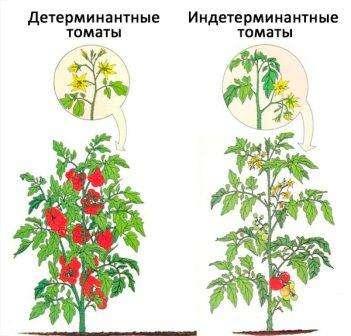 В переводе «детерминантный» означает «ограничение», т.е рост этого сорта томатов будет ограничен. Оказывается, что детерминантные растения ограничены в росте центральной верхушки. Это происходит потому, что на конце побега начинает развиваться завязь и потом плоды, поэтому рост вверх ост