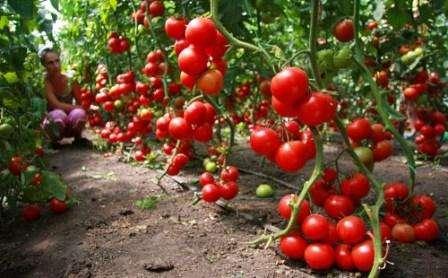 Детерминантные и идетерминантные томаты