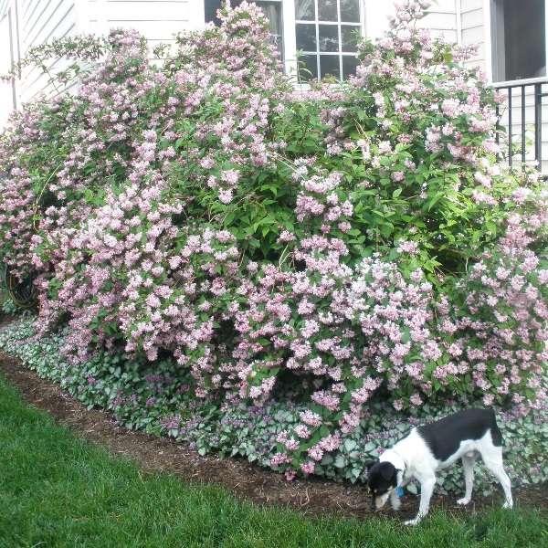ейция – это растение, которое требует особого ухода, поэтому вам придется правильно подобрать место для посадки и создать благоприятные условия для ее произрастания. Лучше все высаживать кустарник в саду под к