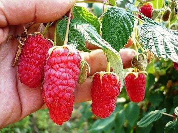 Выращивание малины по методу Соболева. Видео
