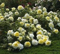 шины до третьего листка со здоровой почкой. Если же куст даёт одно цветение, то летом нужно срезать только побеги в центре растения и слаборазвитые. Обрезать нужно не весь побег, а только до середины, таким обра