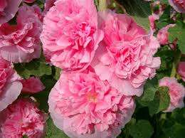 Уход за мальвой достаточно простой, ведь этому цветку, как и многим другим нужен своевременный полив и подкормки. Если земля бедная, то за  неделю до начала цветения выполняют подкормку комплексными удобр