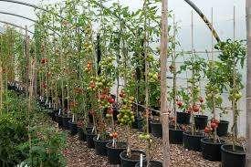 Посев невозможен без предварительной подготовки семян. Если купленные семена не окрашены, значит, их нужно обработать Фитоспорином. В первом случае дополнительной промывки и обеззараживания не треб