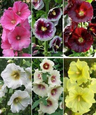 Мальва представляет собой многолетнее растение, которое культивируется с 1440 года. Высота куста достигает около 2,5 метров, при этом цветки могут быть самых разных цветов. Высаживать в открытый грунт шток-р