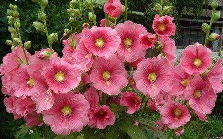 Шток-роза: посадка и уход в открытом грунте