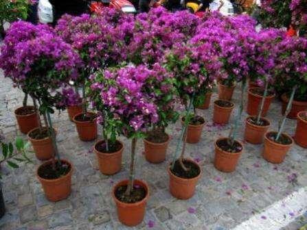 Выращивать этот цветок можно и в домашних условиях, если правильно проводить обрезку, иначе куст получится достаточно большим. Чаще всего бунгевиллию высаживают в открытый грунт возле садовых дорож