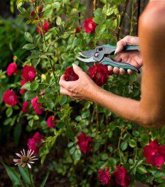Чтобы бутоны розы имели яркую окраску и медленно раскрывались, куст можно удобрить азотнокислым калием, после этого полить раствором альбумина или куриным помётом. Перед приготовлением удобрения из
