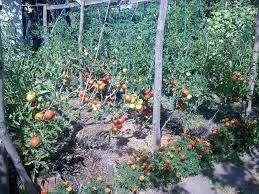 В целом, технология посева высоких томатов не так сильно отличается от посадки низкорослых. Семена заранее замачивается в удобрениях, затем закаливают в холодильнике. Грунт рекомендуется удобрить и подогреть. Затем семена высаживаются в контейнеры или маленький парник, и рассада прорастает на про