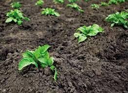 При выращивании раннеспелого  картофеля важно соблюдать стандартную технологию подготовки к посадке. Для этого посадочный материал переносят из холодного в теплое помещение для акклиматизации и с
