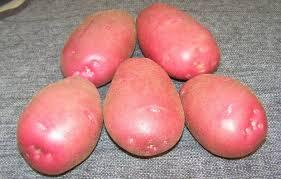 В период роста картофель сорта Астерикс положительно реагирует на рыхление. Эту процедуру проводят спустя неделю после посадки, два раза до того, как появятся всходы и еще пару раз после того, как появятся рос