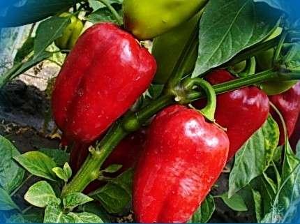 Купец  Кусты с перцами могут достигать метра высотой и всегда дают стабильно большой урожай. Созревшие для стола плоды окрашены в светло-зеленый цвет, их вес около 130 г. Очень полезный и сладкий перец, на