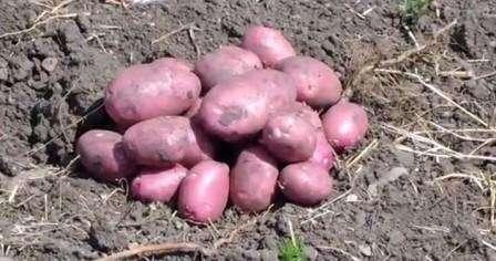 «Перепробовал уже много сортов картофеля и остановился на Рокко. Теперь каждый год высаживаю клубни и радуюсь хорошему урожаю. Картофель не подвержен распространенным заболеваниям, поэтому растет хорошо