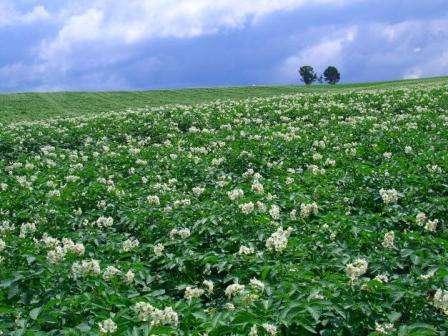 о отзывам огородников, сорт Адретта отличается хорошей урожайностью: с одного куста можно собрать 10-15 клубней, а значит, с одного гектара около 40 тонн. Этот вид картофеля достаточно устойчив к низким темп