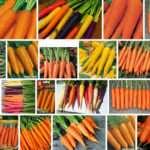 Морковь: сорта и фото