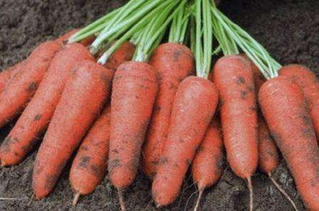 Морковь, как и другие овощи нуждается в подкормке. Внести удобрения вы можете спустя месяце после появления первых всходов, а потом еще через два месяца. По отзывам огородников, лучше всего и