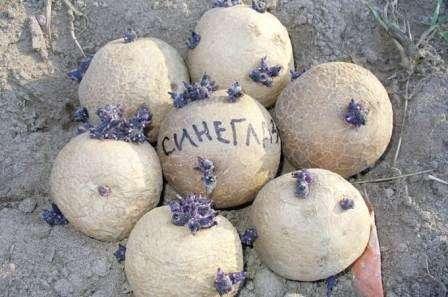 Картофель Синеглазка: описание сорта, фото