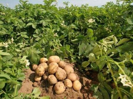 Этот сорт картофеля получил много положительных отзывов, так как легко чистится, имеет средний размер (до 140 гр) и при этом не разваривается при длительной варке. Картофель Невский отличается хорошей урожа