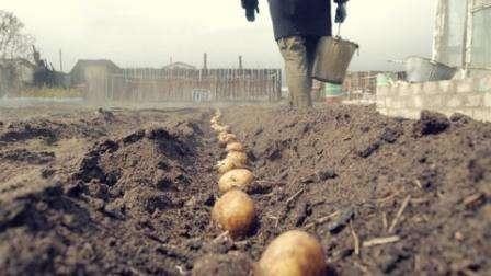 Клубни картофеля Наташа имеют овальную форму с ровной гладкой кожицей и небольшими глазками. Количество крахмала в них небольшое, всего 12 -14%, а мякоть выделяется приятным желтым цветом. Кусты у