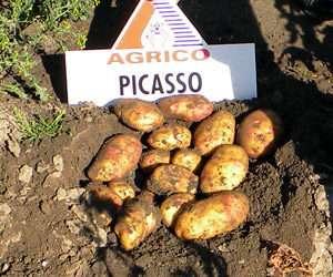 Чтобы ускорить процесс сбора урожая, лучше заранее прорастить клубни или выполнить стимуляцию появления ростков с помощью специальных составов. Посевной материал высаживается после того, как минов