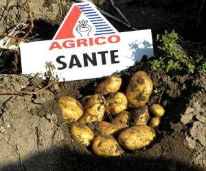 Хорошо растет картофель Санте по отзывам дачников после капусты, бобовых, луговых трав. От таких паразитов, как тля и колорадский жук, избавляются опрыскиванием инсектицидами. Для защиты от пров