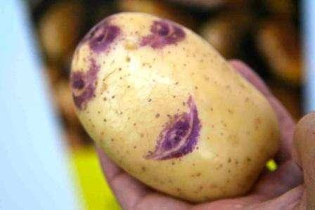 Чтобы облегчить процесс ухода за картофелем в домашних условиях, рекомендуем сохранять расстояние между грядками около 0,7 м. В таком случае вы сможете проводить окучивание мотоблоком. Через каждый 35