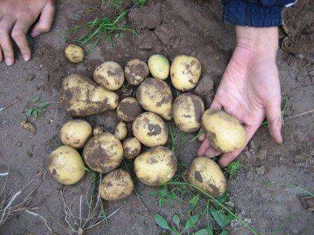 Сорт картофеля Скарб: характеристика, отзывы